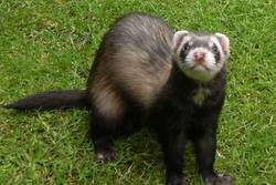 dylan the polecat ferret